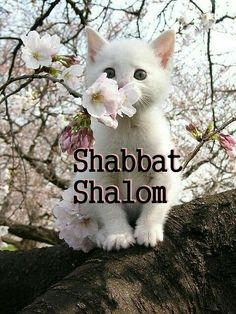 shabbat-cat